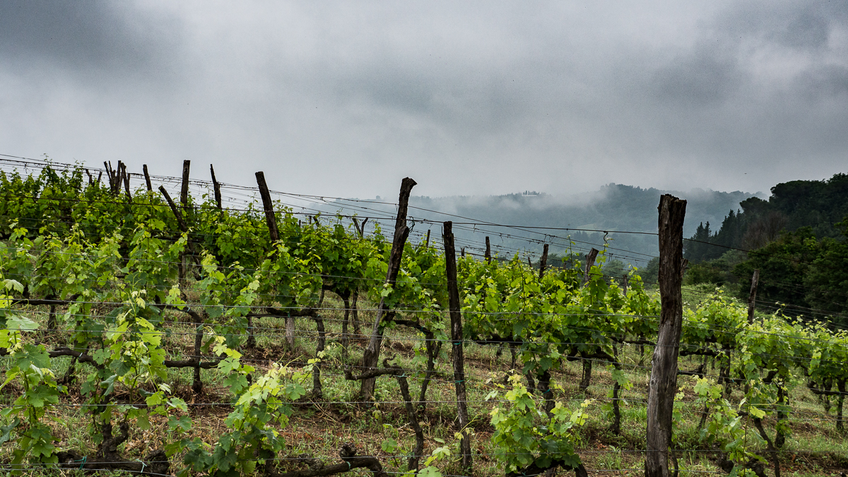 Weinberge in Ghizzano