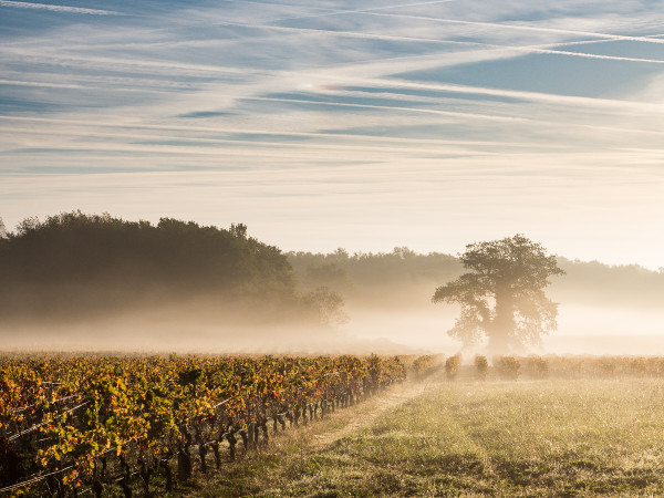 Weinberg-im-Morgennebel-Bordeaux
